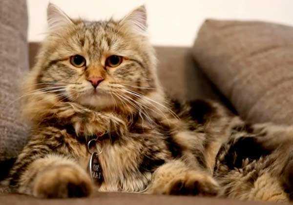 кошка сибирская фото