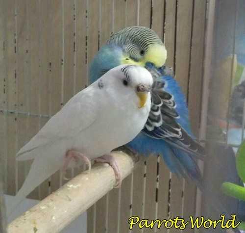 Попугай поджимает лапку