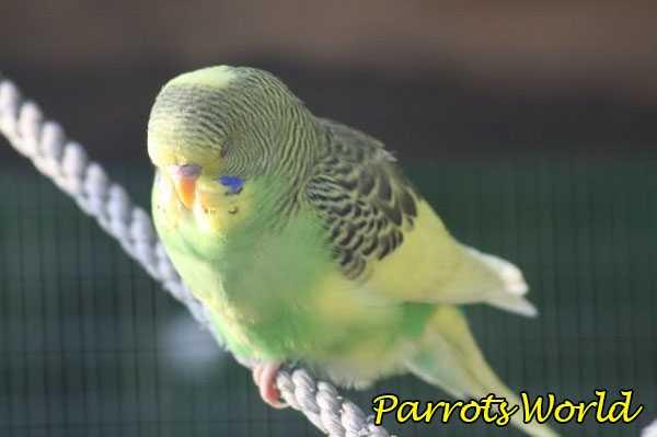 Волнистый попугайчик спит