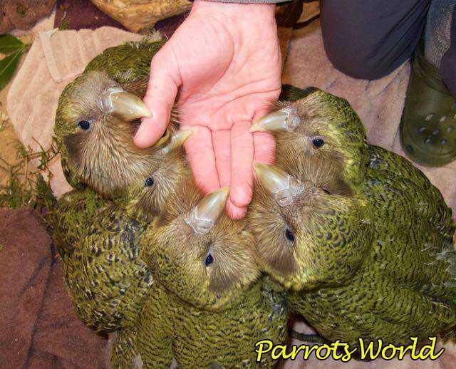 Птенцы какапо и человек