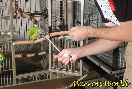 Попугай на палочке