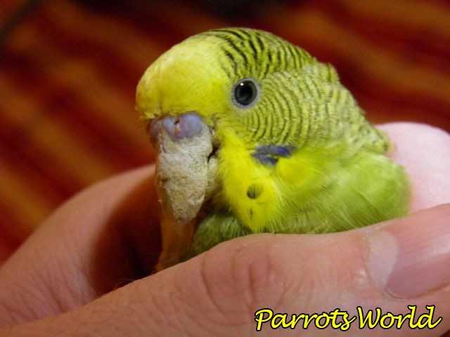 Наросты на клюве у попугая
