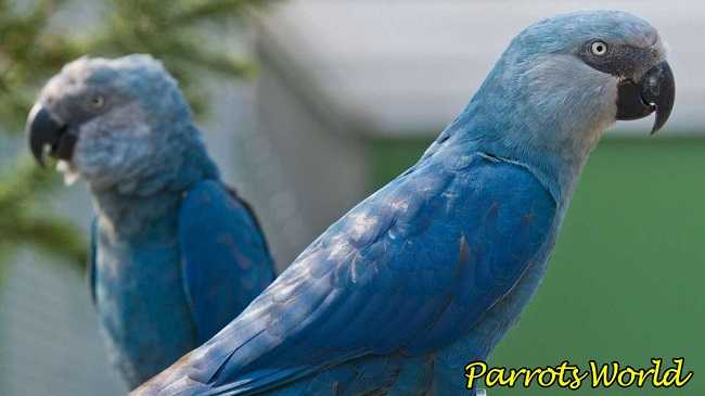 Голубые ара
