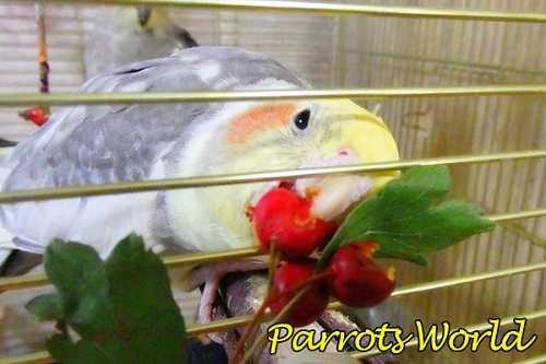 Корелла ест ягоды
