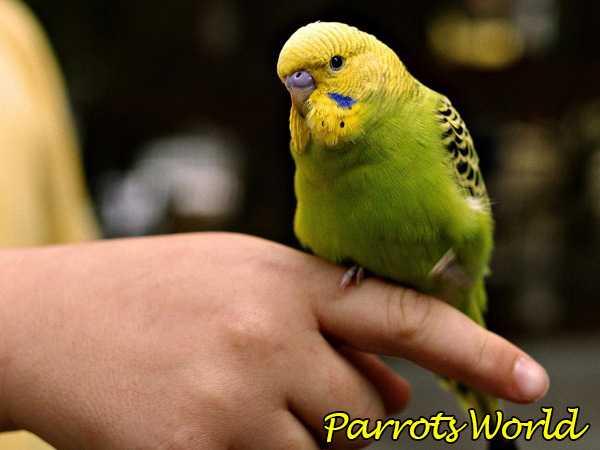 волнистик на пальце