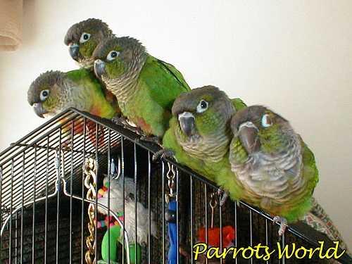 Птенцы пиррура