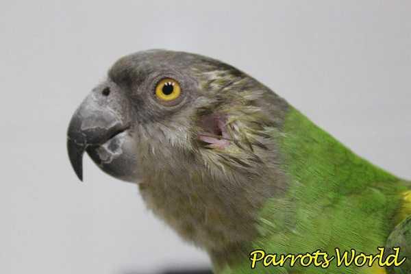 Ухо у попугая