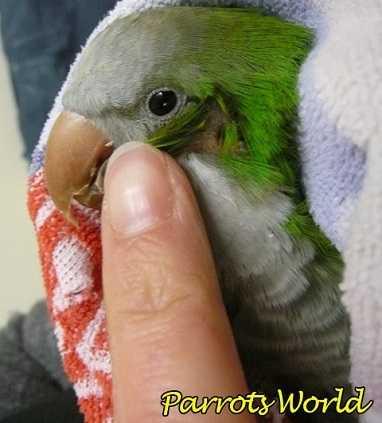 Ухо у попугая монаха