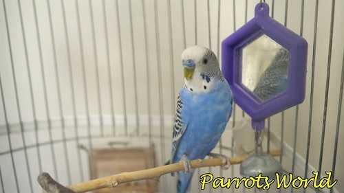 Что делать если попугай чихает?