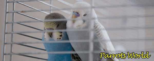 Волнистые попугаи спят