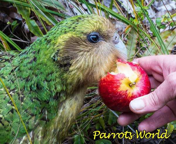 Какапо ест яблоко