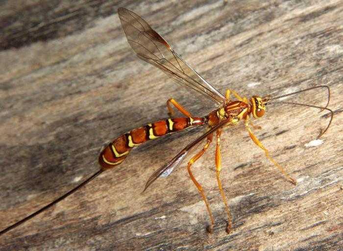 Сколько живут осы в гнезде, фото