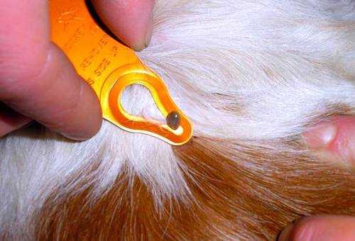 Подкожный клещ у собак виды, признаки и лечение