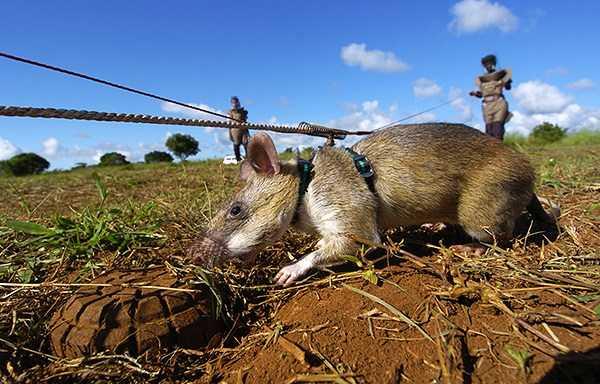 Самая большая крыса в мире