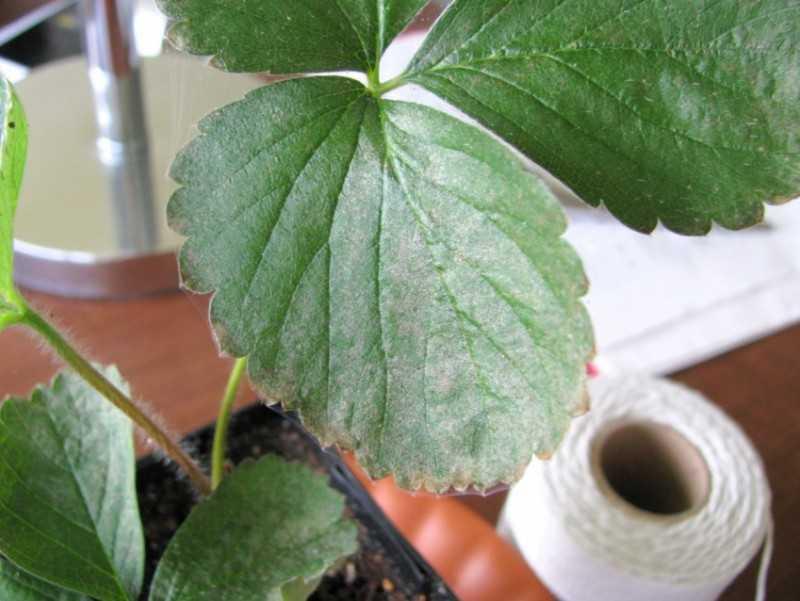 Клубника болезни и вредители. Обработка сада весной
