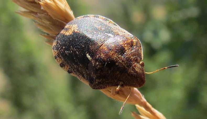 Клоп вредная черепашка может оставить без урожая