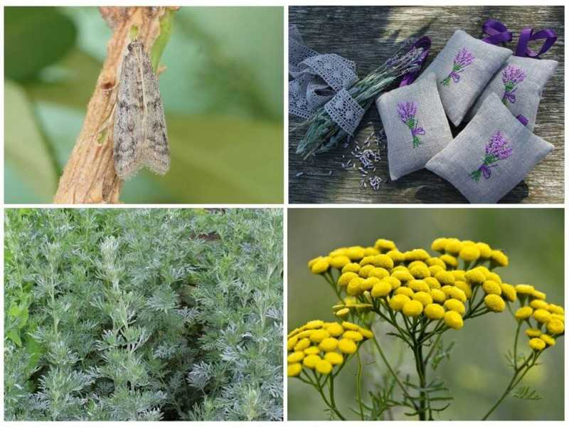 Методы борьбы с молью, растения с запахом и не только