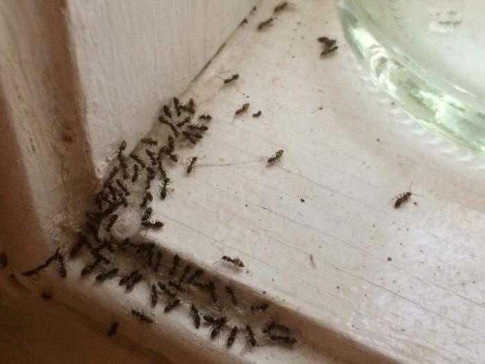 Сонник муравьи с крыльями