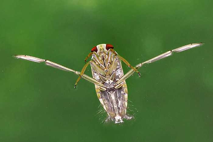 Клоп водомерка биологические особенности