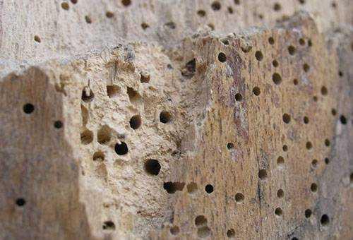 Как спасти дом от жука-точильщика