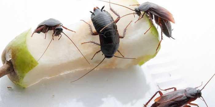 Как избавиться от чёрных тараканов в жилище