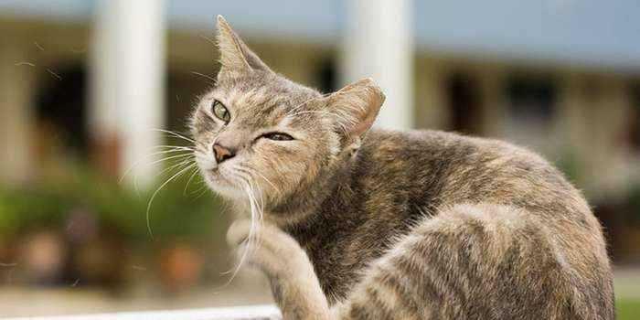 Кошачьи блохи образ жизни и опасность для человека