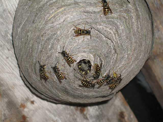 Мед осы пчелы