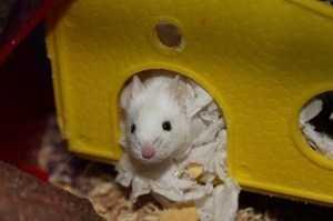 Разновидности домашних мышей и сколько они живут