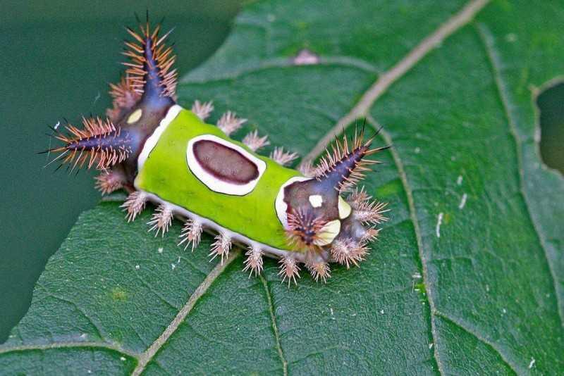 Виды гусениц - описание, особенности и интересные факты. Гусеница землемер удивительный, но очень опасный сосед