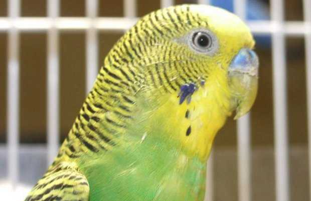 Как и чем лечить попугая от клещей