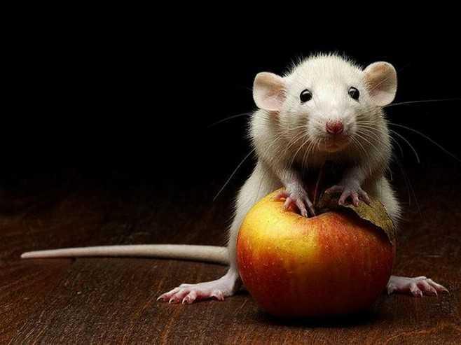 Укусила мышь что делать при укусе и меры профилактики