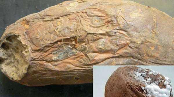 Вредители и болезни картофеля фото, описание и лечение заболеваний