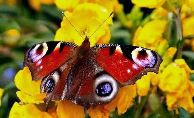 Бабочка павлиний глаз особенности и характеристика