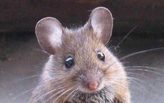 Какого запаха боятся мыши в доме