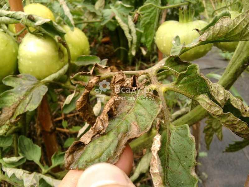 Как бороться народными средствами с фитофторой на помидорах