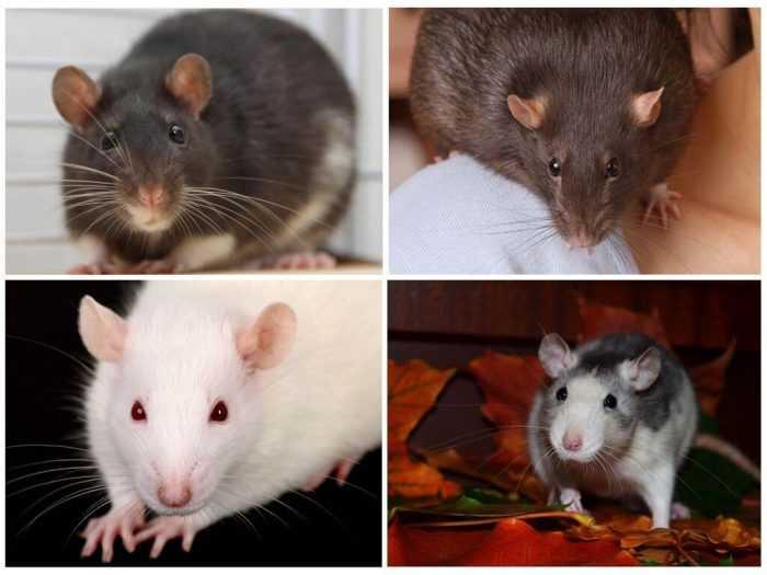 Декоративная крыса уход и содержание в домашних условиях