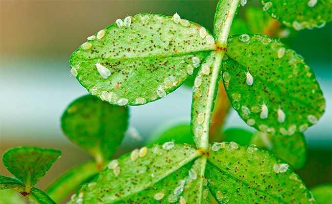 Как избавиться от белокрылки на томатах в теплице и в открытом грунте