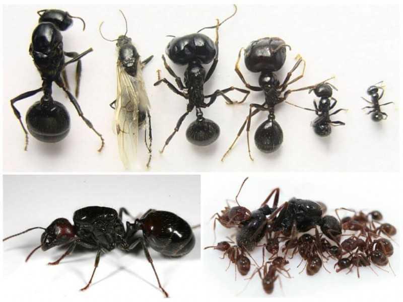 Особенности размножения степного муравья