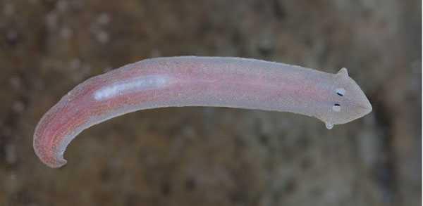 Глисты в рыбе фото и описание, можно ли есть такую рыбу