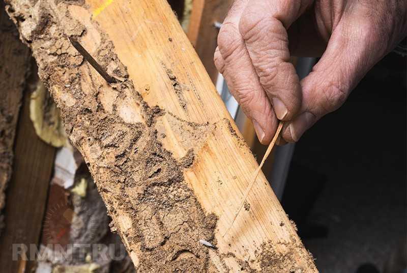 Жуки-короеды, шашель, термиты. Как бороться с вредителями древесины