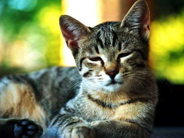 Как распознать и лечить чесоточного клеща у кошек