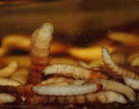 Восковая моль огневка. Огневка пчелиная применение, настойка, инструкция лечения. Когда применяется препарат