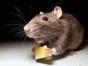 Как избавиться от крыс в доме
