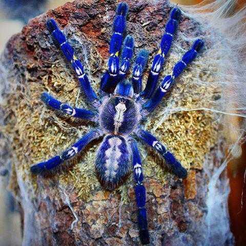 Верблюжий паук. Ядовитые пауки