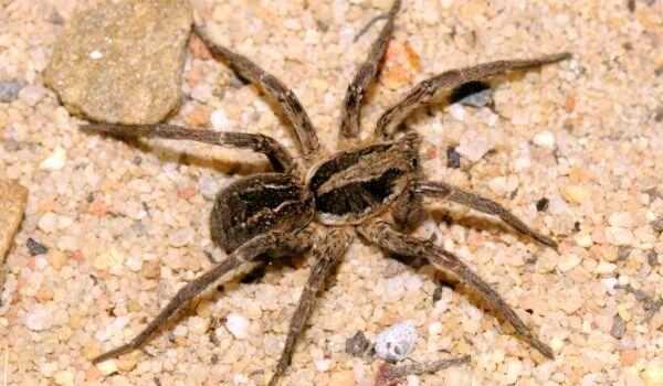 Как определить паукаволка