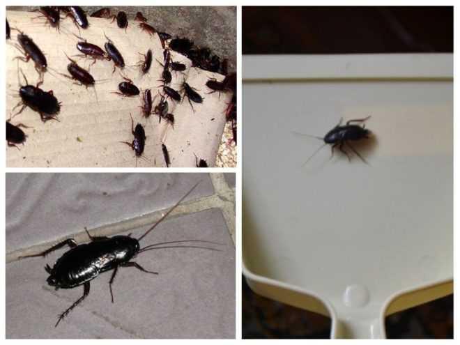 Тараканы виды, особенности, как выглядят и как отличать