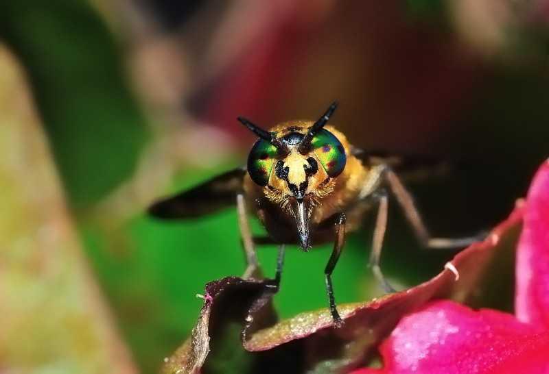 Чем отличается овод. Чем отличается слепень от овода, или это одно и тоже насекомое Инфекции, переносимые слепнями