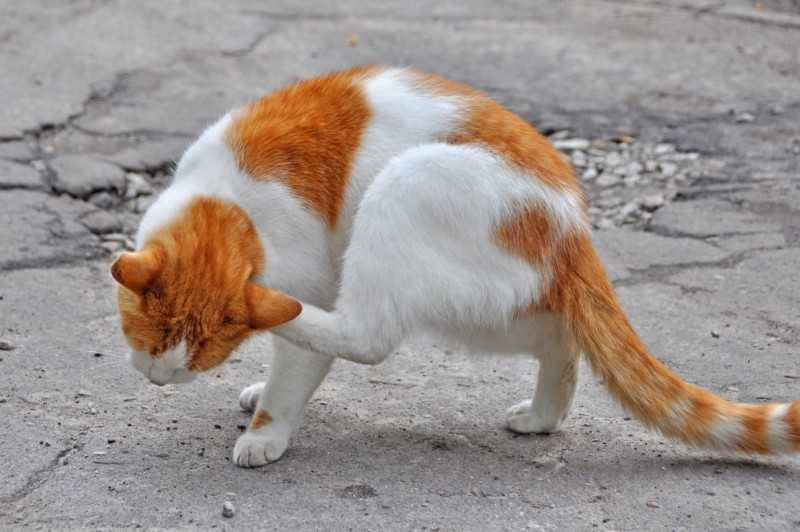 Кот чешется, но блох нет