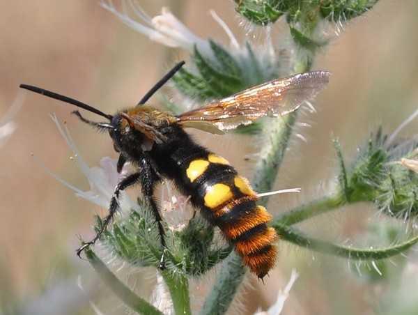 Чем отличается оса от пчелы, анатомия и особенности