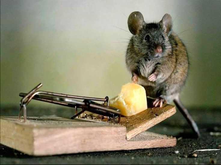 Как бороться с мышами на дачном участке и избавиться от них навсегда